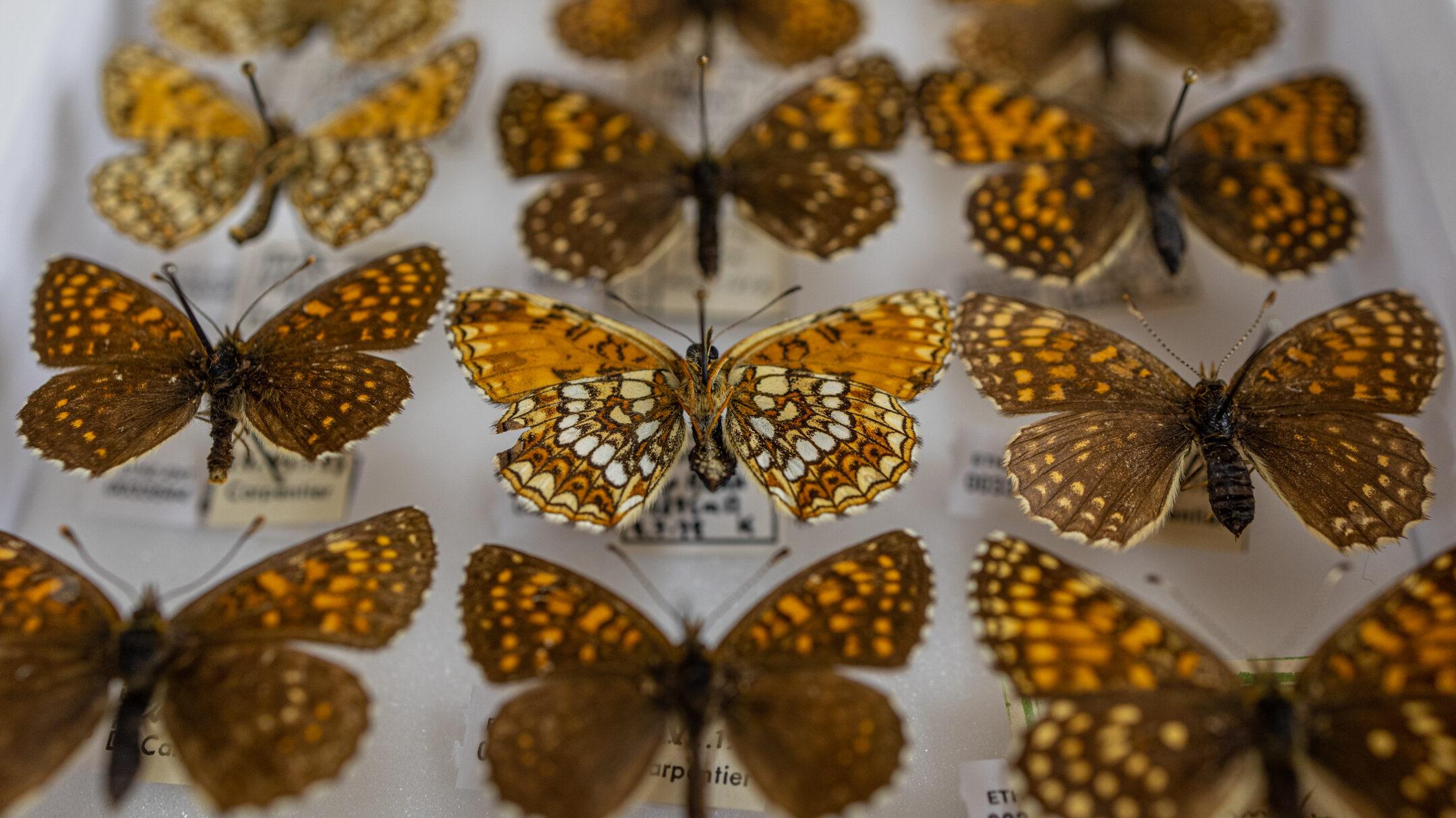 False heath fritillary, Melitaea diamina, in the Entomological Collection Zurich.